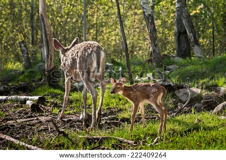 White-Tailed Deer Fawn (Odocoileus virginianus) Follows Mother - captive animals - stock photo