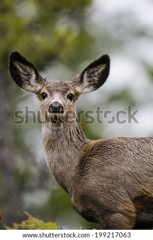 White-tailed deer in a forest clearing in spring