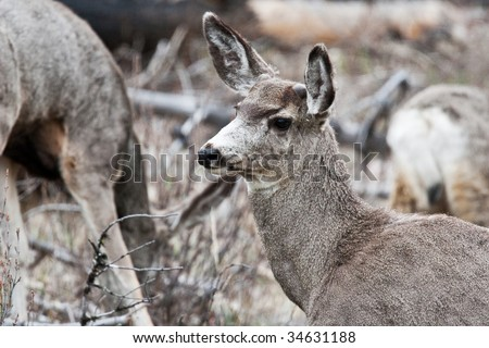 White-tailed deer in Banff National Park, Alberta, Canada