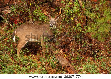 White-Tailed Deer in Cades Cove, Great Smokey Mountains National Park, Tennessee - stock photo