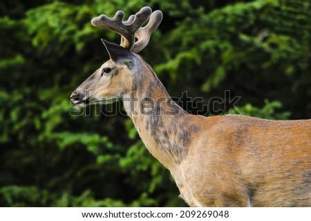 White-tailed deer in Summer, Kananaskis Country  Alberta Canada - stock photo