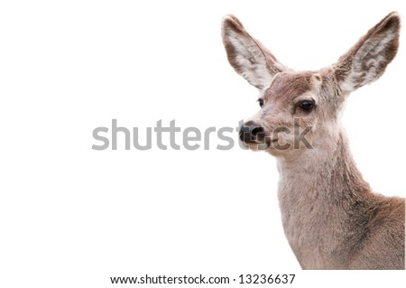 White Tailed deer isolated on white - stock photo