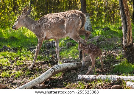 White-Tailed Deer (Odocoileus virginianus) Fawn Follows Mother - captive animals - stock photo