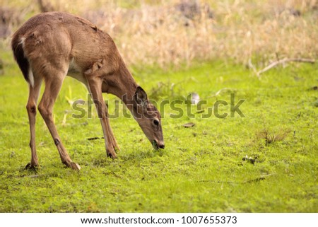 White-tailed deer Odocoileus virginianus forages for food in the wetland and marsh at the Myakka River State Park in Sarasota, Florida, USA