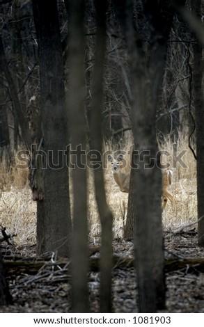 White-Tailed Deer (Odocoileus virginianus) through the Woods - stock photo
