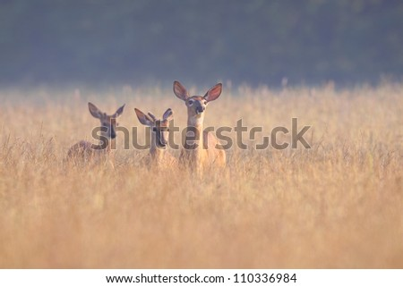 White-tailed deer with young. - stock photo
