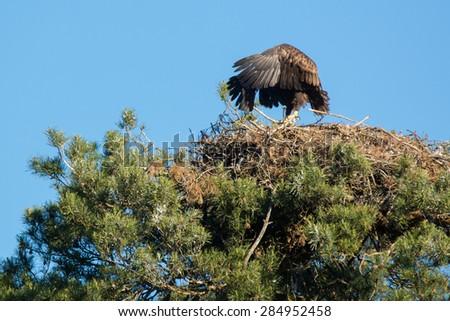 white-tailed eagle - stock photo