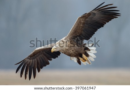 White tailed eagle at wintertime