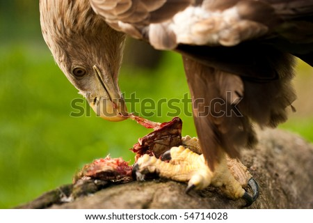 Eagle eating meat - photo#4
