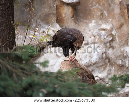 White-tailed eagle eating his prey standing on a rock - stock photo