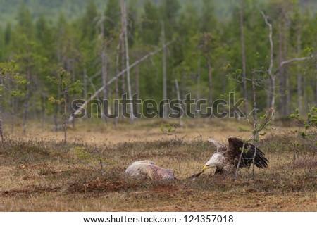 White-tailed Eagle eating on a animal - stock photo