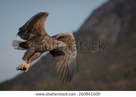 White-tailed eagle flying away with catch - stock photo