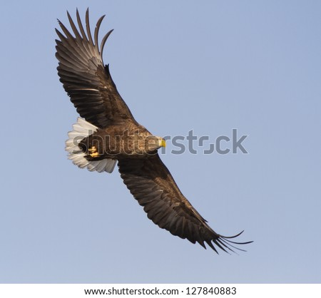 White Tailed Eagle flying in the sky, looking out for prey