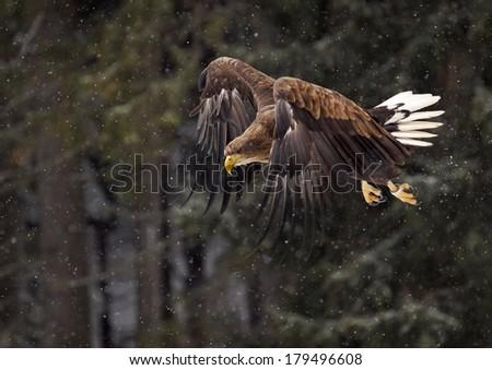 White-tailed Eagle (Haliaeetus albicilla) - stock photo