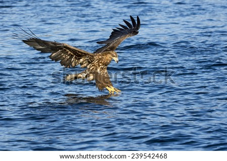 White-tailed eagle (Haliaeetus albicilla) catching fish in Norwegian bay. - stock photo