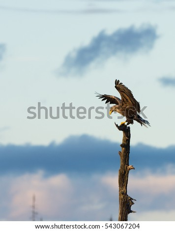 White tailed eagle (Haliaeetus albicilla) landing on a dry tree top with blue sky background in No Man's Land, the border between Finland and Russia. Wings are spread and lifted.