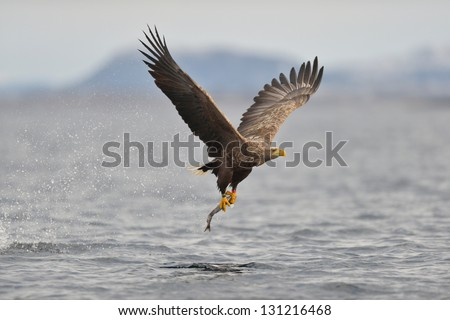 white tailed eagle hunting
