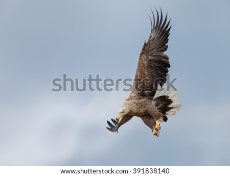 White tailed eagle in nature  - stock photo