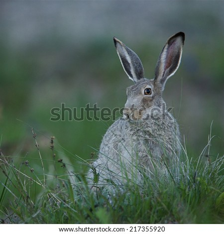 White-tailed Jack Rabbit, Mammoth Hot Springs geyser, Yellowstone National Park Lagomorph related to hares and pika, one of 4 lagomorphs known to live in Yellowstone, and the largest of the 4 species - stock photo