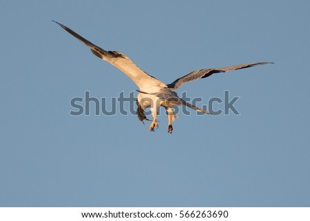 White-tailed kite flying in the wild at sunset, eating a mouse just caught