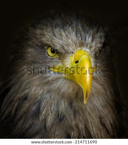 white tailed sea eagle - stock photo