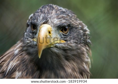 White-tailed Sea Eagle (Haliaeetus albicilla) - stock photo