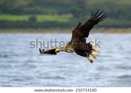 White-tailed Sea Eagle (Haliaeetus albicilla) in flight over the sea. - stock photo