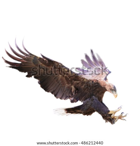 White Tailed Sea Eagle, Haliaeetus albicilla, with spread wings and talons out landing. Isolated on white background.