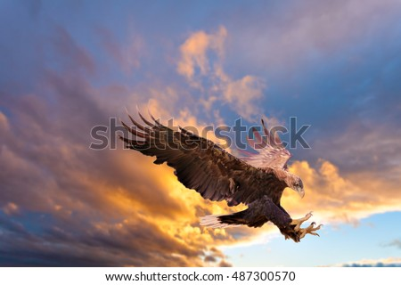 White Tailed Sea Eagle, Haliaeetus albicilla, with spread wings and talons out landing on dramatic sunset sky background.