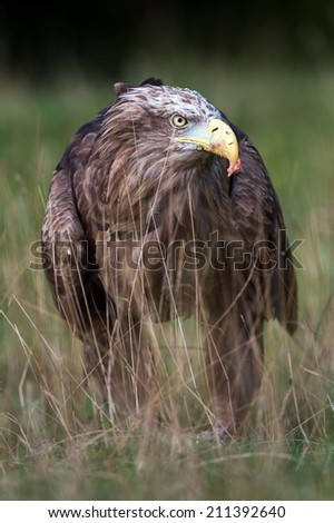 White Tailed Sea Eagle in long grass/White Tailed Sea Eagle/White Tailed Sea Eagle (haliaeetus albicilla) - stock photo