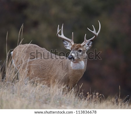 White-tailed / Whitetail buck deer against natural dark background; white tailed / whitetailed / white tail / white-tail / deer hunting / big buck / big game hunting - stock photo