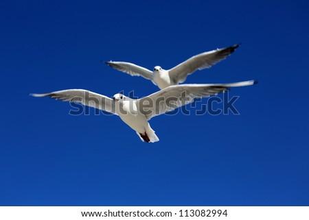 White Tern on blue sky background - stock photo