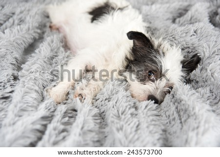 White Terrier Mix Napping on Soft Gray Blanket - stock photo