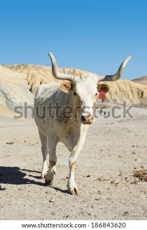White Texas longhorn cow breed with the tips of the horns are sawed across the empty field - stock photo
