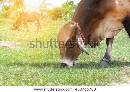 white thai cow in green, Family Cow in green field which traditional cow in urban, Cow in green field on sunset, - stock photo