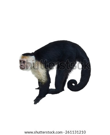 White Throated Capuchin Monkey Isolated  On White Background  - stock photo