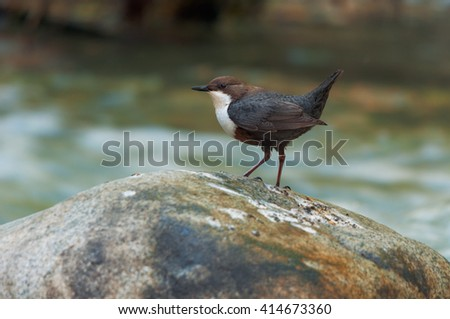 White-throated dipper standing on a stone - stock photo