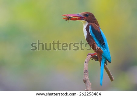 White-throated Kingfisher bird (Halcyon smyrnensis) perching on a branch - stock photo