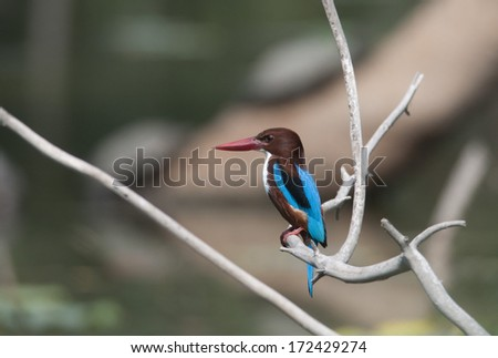 White throated Kingfisher on the branch. - stock photo