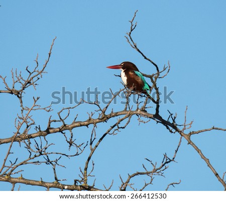 White-throated Kingfisher Perched on Tree - stock photo