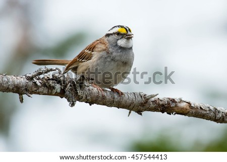 White-throated Sparrow perched on a branch.