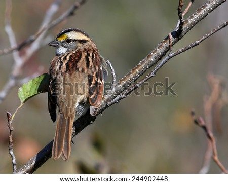 White-throated Sparrow (Zonotrichia albicollis) looking back at the camera. Shot in Cambridge, Ontario, Canada.  - stock photo