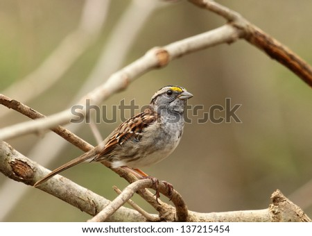 White-throated sparrow, Zonotrichia albicollis, perched on a branch