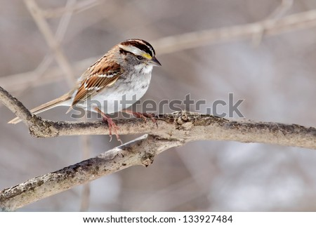 White-throated sparrow, Zonotrichia albicollis, perched on a tree branch