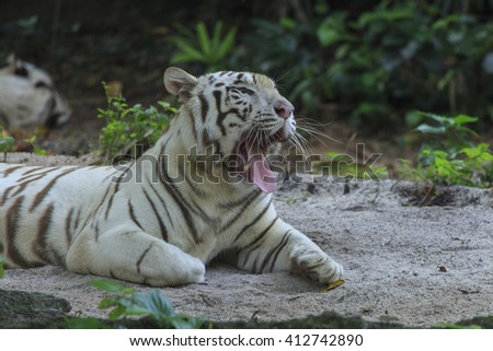 White Tiger, a variant of the Bengal Tiger