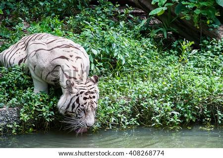 White tiger (albino) drinking water - stock photo