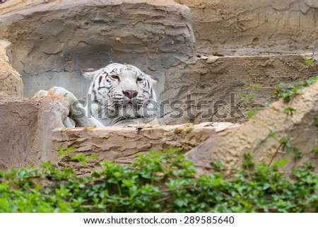 White tiger are soaked in a pool of water on the mountain. - stock photo