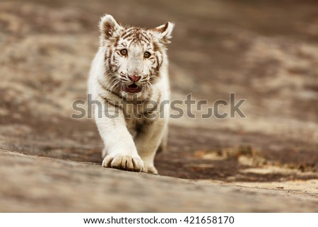 White tiger came running out of the rock so that he could play with other tigers. Animal is very young and still wants to play for catching prey.