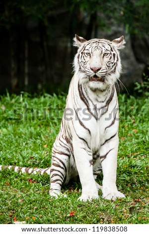 white tiger chiangmai zoo - stock photo
