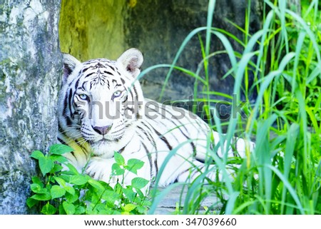 White Tiger:close up and selective focus with shallow depth of field. - stock photo